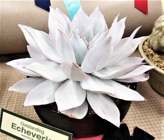 Echeveria Cante - Suculenta Híbrida - Importada