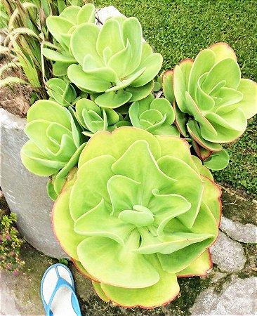 Echeveria Pallida - Grande Suculenta