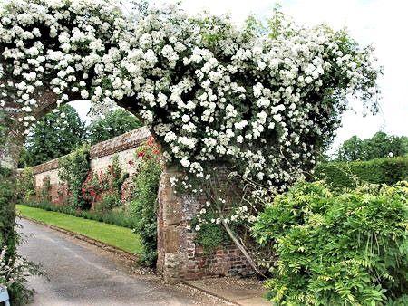 Rosa Trepadeira Rambling Rector Mini Branca Haste Multi floral - Enxertada