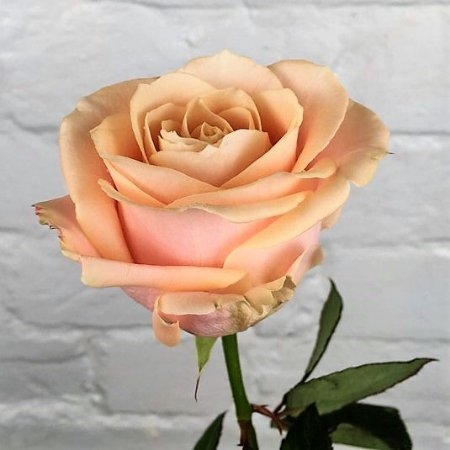 Rosa Arbustiva Avalanche Champanhe - Enxertada