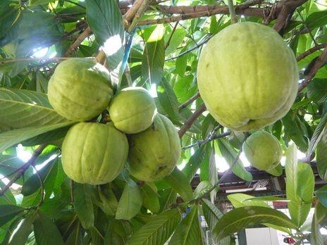 Garcinia pedunculata