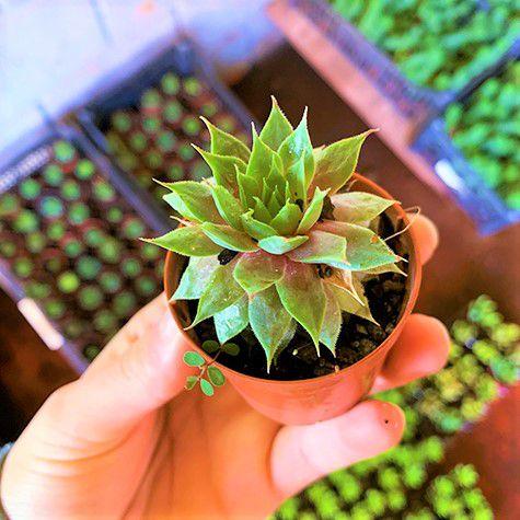 Sempervivum Red Beauty - Suculenta