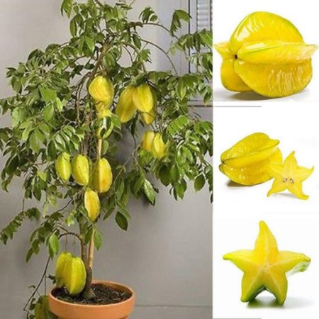 Carambola Anã Enxertada p/ Vasos - Frutas Grandes