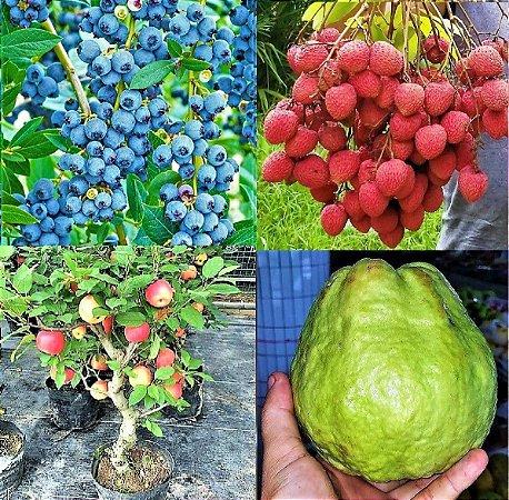 Kit c/ 4 Mudas = Mirtilo Blueberry + Lichia Bengal + Goiaba Gigante + Maçã Julieta = Todas p/ Vasos