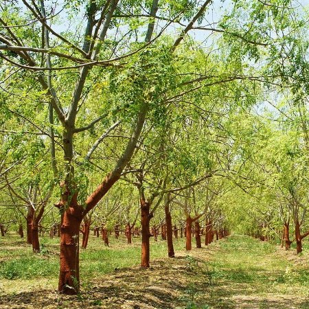 Moringa oleifera - Um Milagre da Natureza