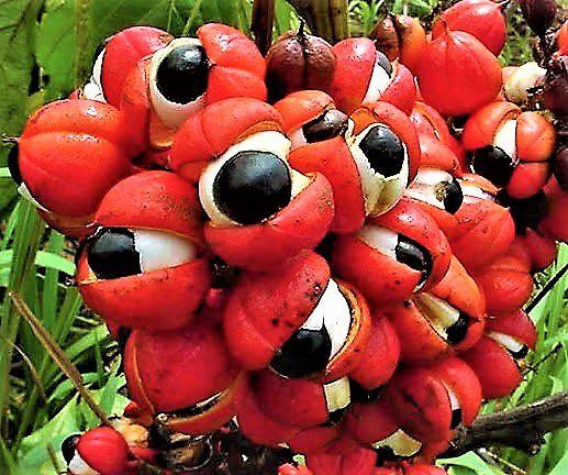 Guaraná da Amazônia