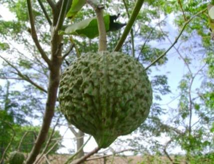 Fruto da Arara
