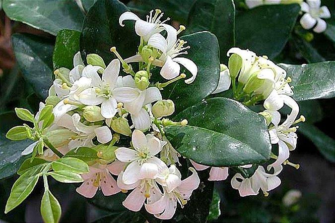 Jasmim Perfume de Laranjas ou Murta de Cheiro