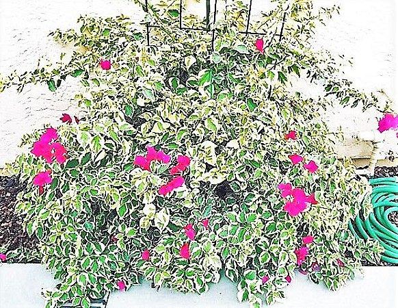 Primavera Raspberry Ice Pendente Variegata - Flor roxa