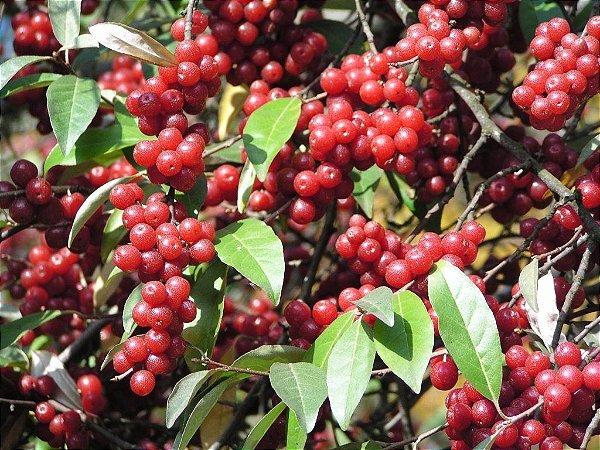 Alegria dos Passaros ou Gumi Fruit