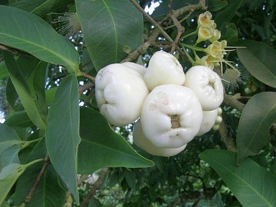 Jambo Branco