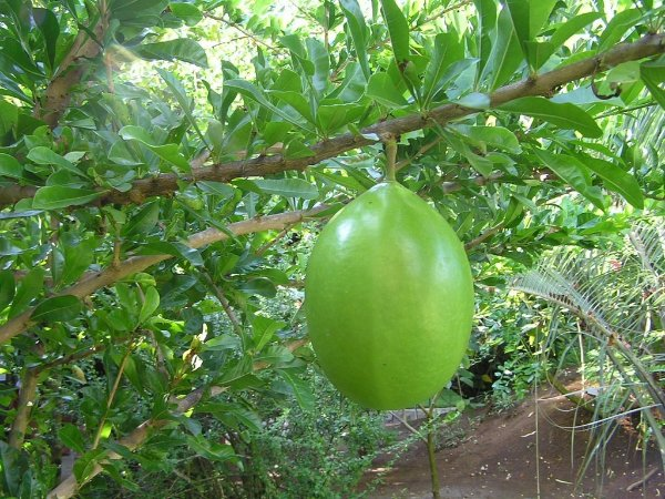 Cuietê ou Cuieira