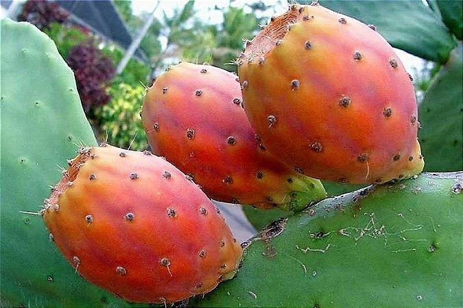 Pitaya da India ou  Figo-da-Índia