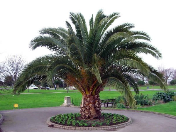 Palmeira das Canarias
