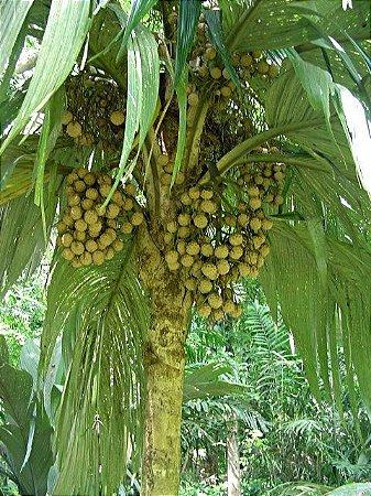 Marquesas Palm