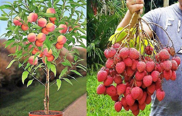Kit c/ 2 Frutíferas p/ Vasos = 1 Pêssego Anão + 1 Lichia Bengal