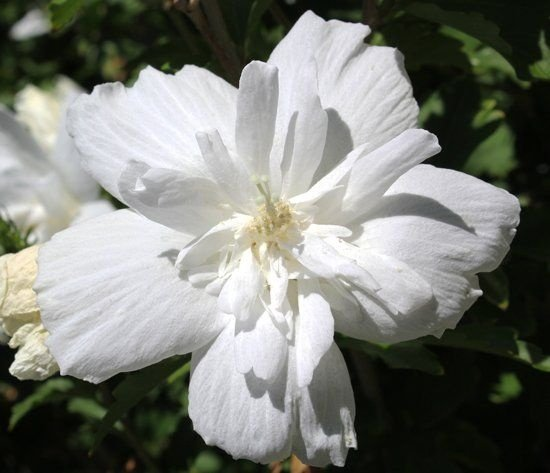 Hibiscu Branco Duplo