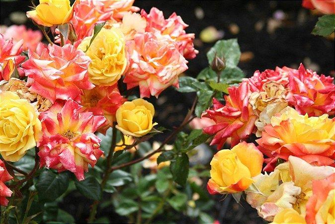 Rosa Mesclada Sem Espinhos