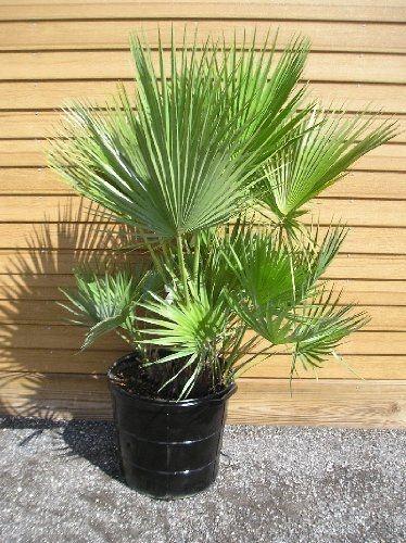 Palmeira Acoelorrphe  wrightii