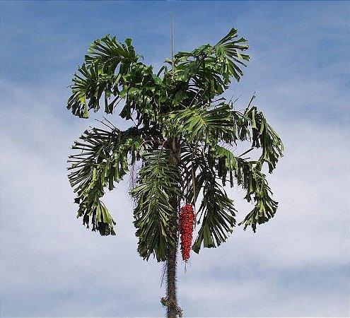 Palmeira Aiphanes aculeata