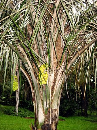 Palmeira Buri