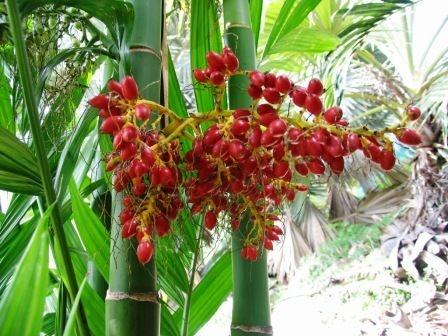 Palmeira Areca triandra