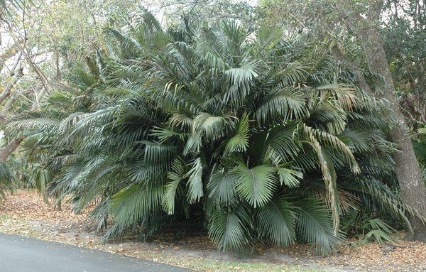 Palmeira de Formosa