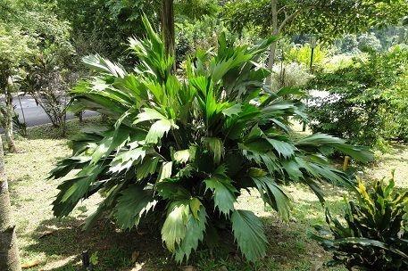 Palmeira Seta