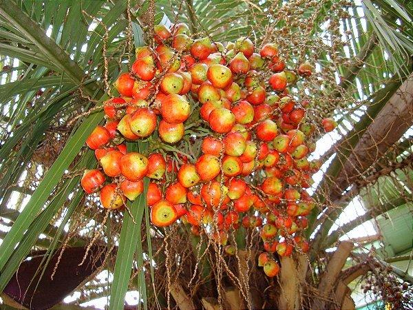 Palmeira Butia sp. de Florianópolis