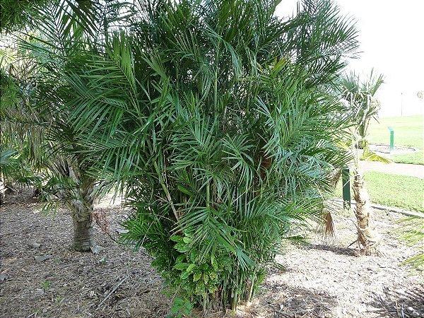Palmeira Chamaedorea seifrizii