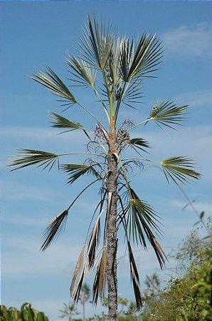 Palmeira Coccothrinax ekmanii