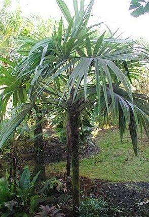 Palmeira Cryosophila warscewiczianus