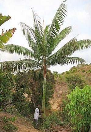 Palmeira Dypsis leptocheilos