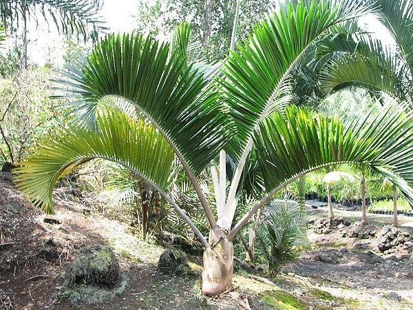 Palmeira Dypsis  leucomalla - White Petiole