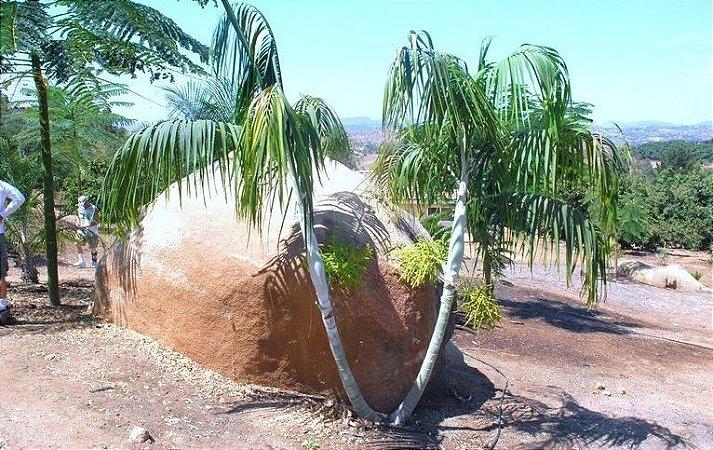 Palmeira Dypsis onilahensis