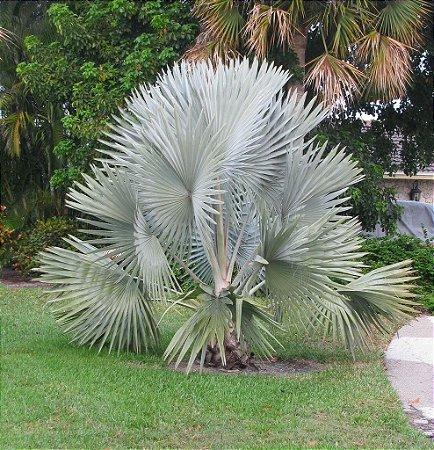 Palmeira Azul - Bismarckia nobilis - Mudas