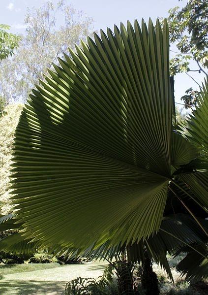 Palmeira Licuala amplifrons