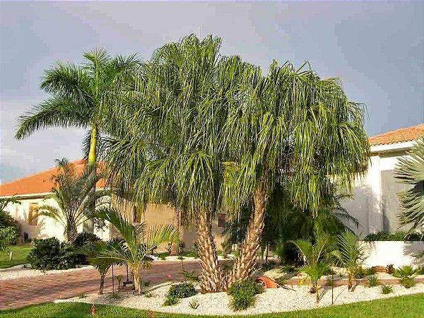 Palmeira Livistona decipiens