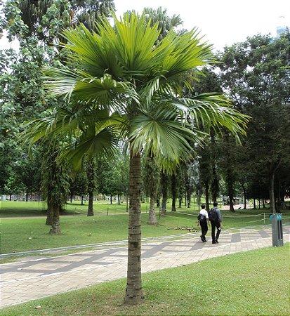 Palmeira Livistona rotundifolia