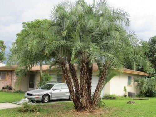 Palmeira Phoenix reclinata