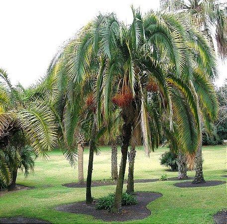 Palmeira Phoenix rupicola