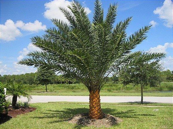 Palmeira Phoenix sylvestris
