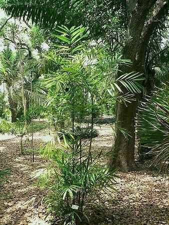 Palmeira Ptychosperma propinquum