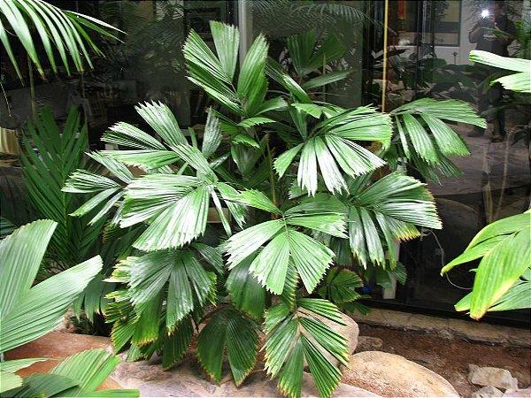 Palmeira Reinhardtia gracilis