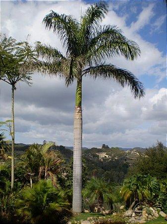 Palmeira Roystonea borinquena