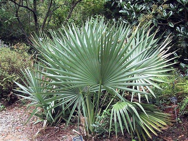 Palmeira Sabal minor