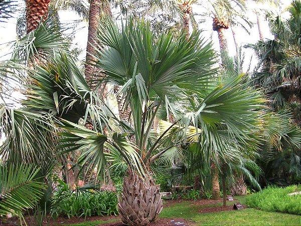 Palmeira Sabal maritima de Cuba