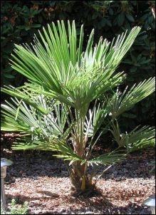 "Palmeira Trachycarpus fortunei "" Nainital """