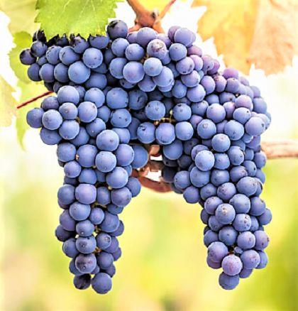 Cabernet Sauvignon Uva de Vinho - Mudas Enxertadas - Produz em Climas TEMPERADOS E QUENTES