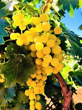Uva Moscato Giallo ou Yellow Muscat ou Moscatel Amarela - Mudas Enxertadas